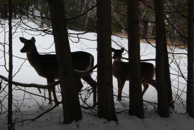 Deer, Huntsville, Ontario 2012