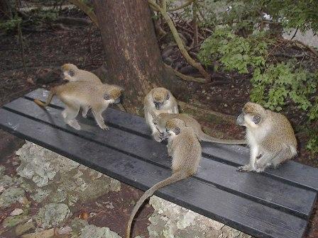 Monkeys, Barbados, 2004-KP