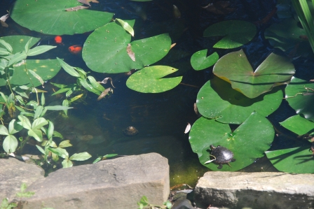 Painted Turtle and Goldfish, Aug 2012-kp