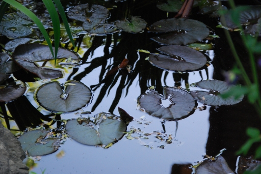 Lily Pads in the Water Garden, NTP, May 2013