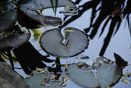 Lily Pads Up Close, NTP