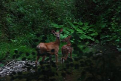 Deer & Doe in River, Dundas, ON KP