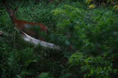 Deer Bounding, Ontario, Kp