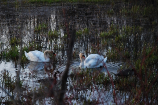 Mute Swans, Cootes Paradise, April 2013 kp