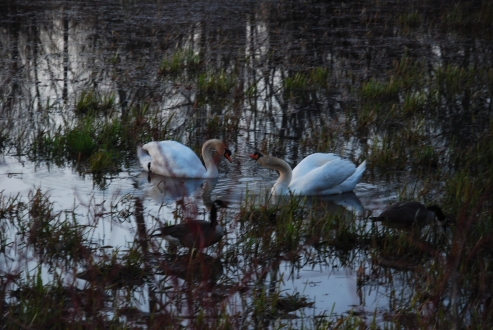 Mute Swans, Cootes Paradise, KP-Apr 2013