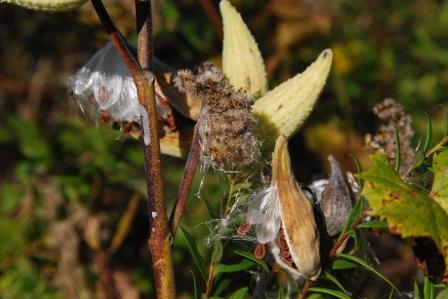 Fall Milkweed, KP