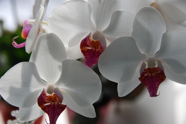 Orchids on my Desk-KP-Mar2014