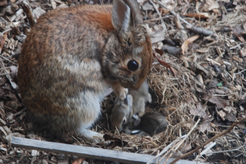 Mother Rabbit & Young, April 2014-KP
