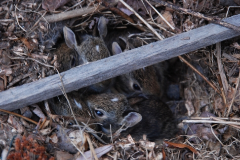 Bunnies in Burrow - May 2014