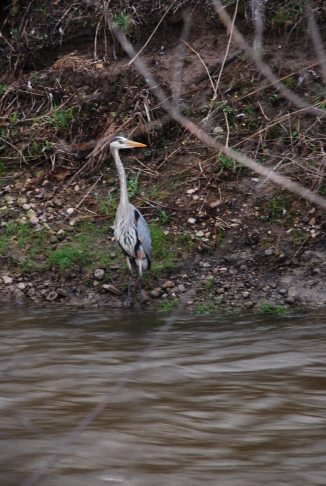 Great Blue Heron, Creek Trail, May 2014-KP