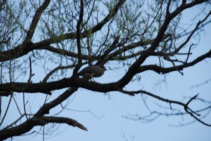 Night Heron-May 2014-KP