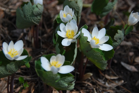 Bloodroot in Bloom, May 2014-KP