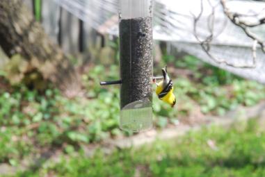 Goldfinch at feeder, June 2014-KP