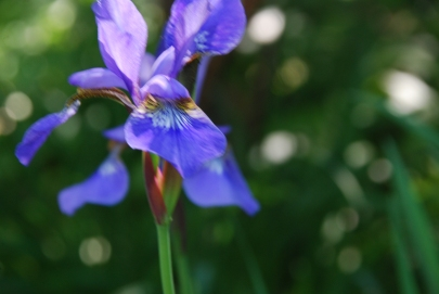 Siberian Irises, May 2014-KP