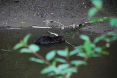 Beaver in Spencer Creek, June 2014-KP