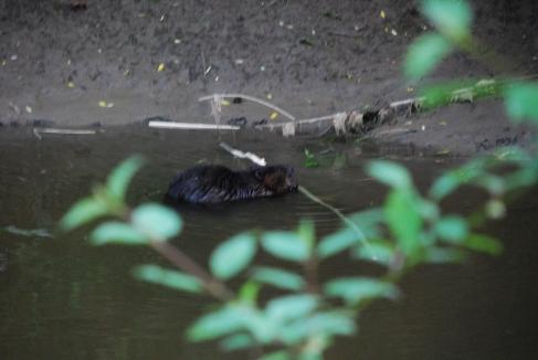 Beaver in Spencer Creek, June 2014-KP