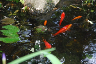 Goldfish in Water Garden, June 2014-KP