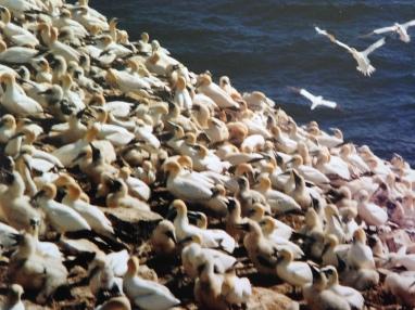 Gannets, Newfoundland, 2001 - KP