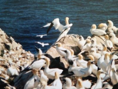 Gannets - Newfoundland - 2001 - 3  KP