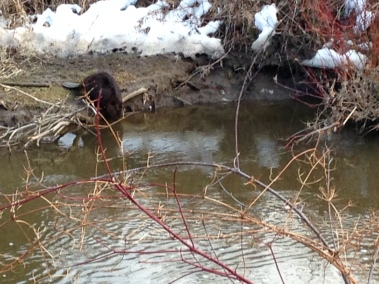 Beaver, Spencer Creek, April 2015 - KP