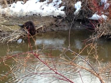 Beaver, Spencer Creek, April 2015 - KP
