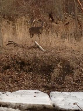 White-Tailed Deer, Spencer Creek, April 2015 - KP