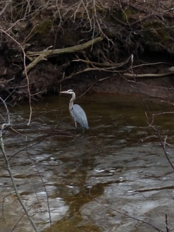 Great Blue Heron, Spencer Creek, April 2015 - KP