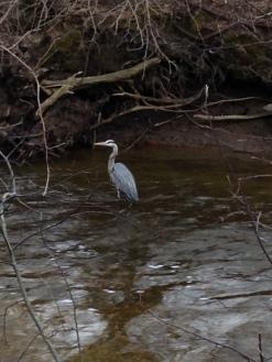 Great Blue Heron, Spencer Creek, April 2015 - KP