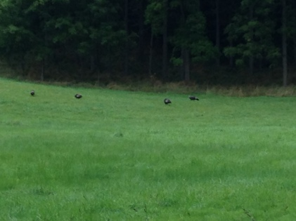 Turkey Vultures - Sulphur Springs Road - KP
