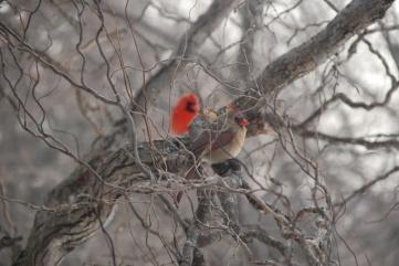 Pair of Cardinals - Dundas, Ontario - Spring - KP