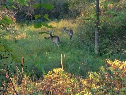 Deer in Conservation Area - KP