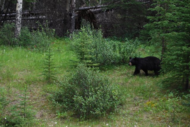 Black Bear, Banff National Park, Canada, KP