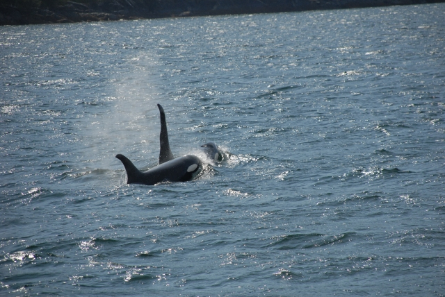 Killer Whales, Telegraph Cove, Vancouver Island, Canada KP
