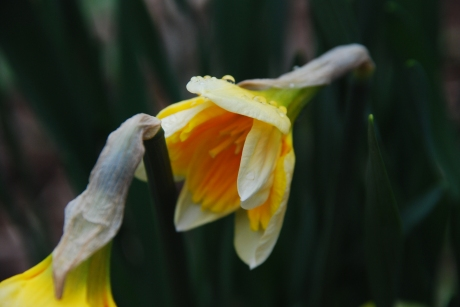 Blooming Daffodil KP