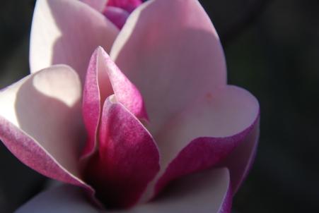 Blooming Magnolia KP