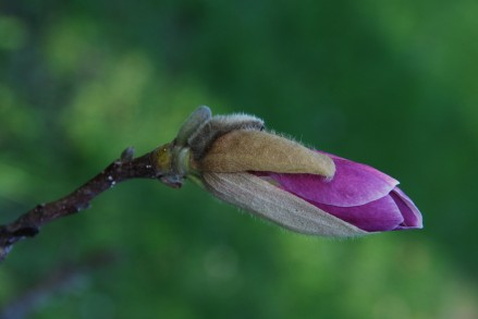 Magnolia Bud KP