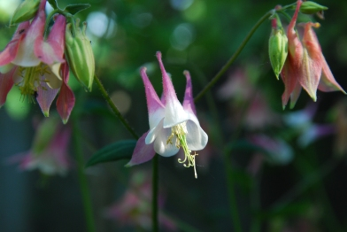 Columbines 2 - Backyard Garden, KP